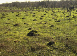 Fire Ant Hills